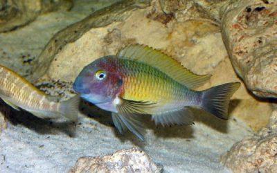 Tropheus sp. Nangu