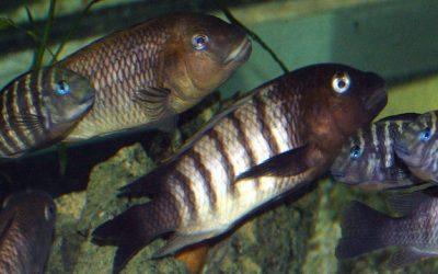 Petrochromis Famula Katete