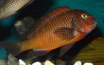 Tropheus sp. Ndole