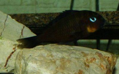 Tropheus sp. Brichardi Mpimbwe