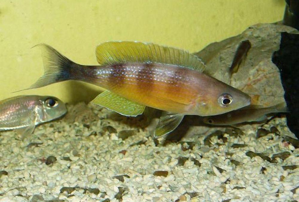 Cyprichromis Zonatus Chituta