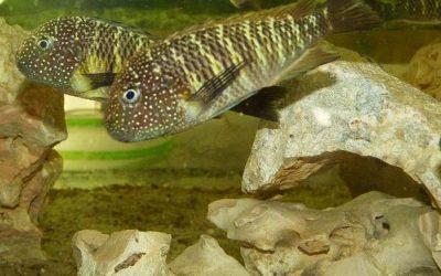 Tropheus sp. Maculatus Moba (Murago Congo)