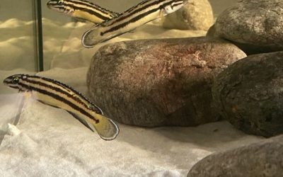 Julidochromis Marksmithi Mvuna